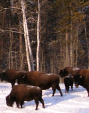 Bison viewing