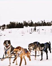 Traditional dog sled ride